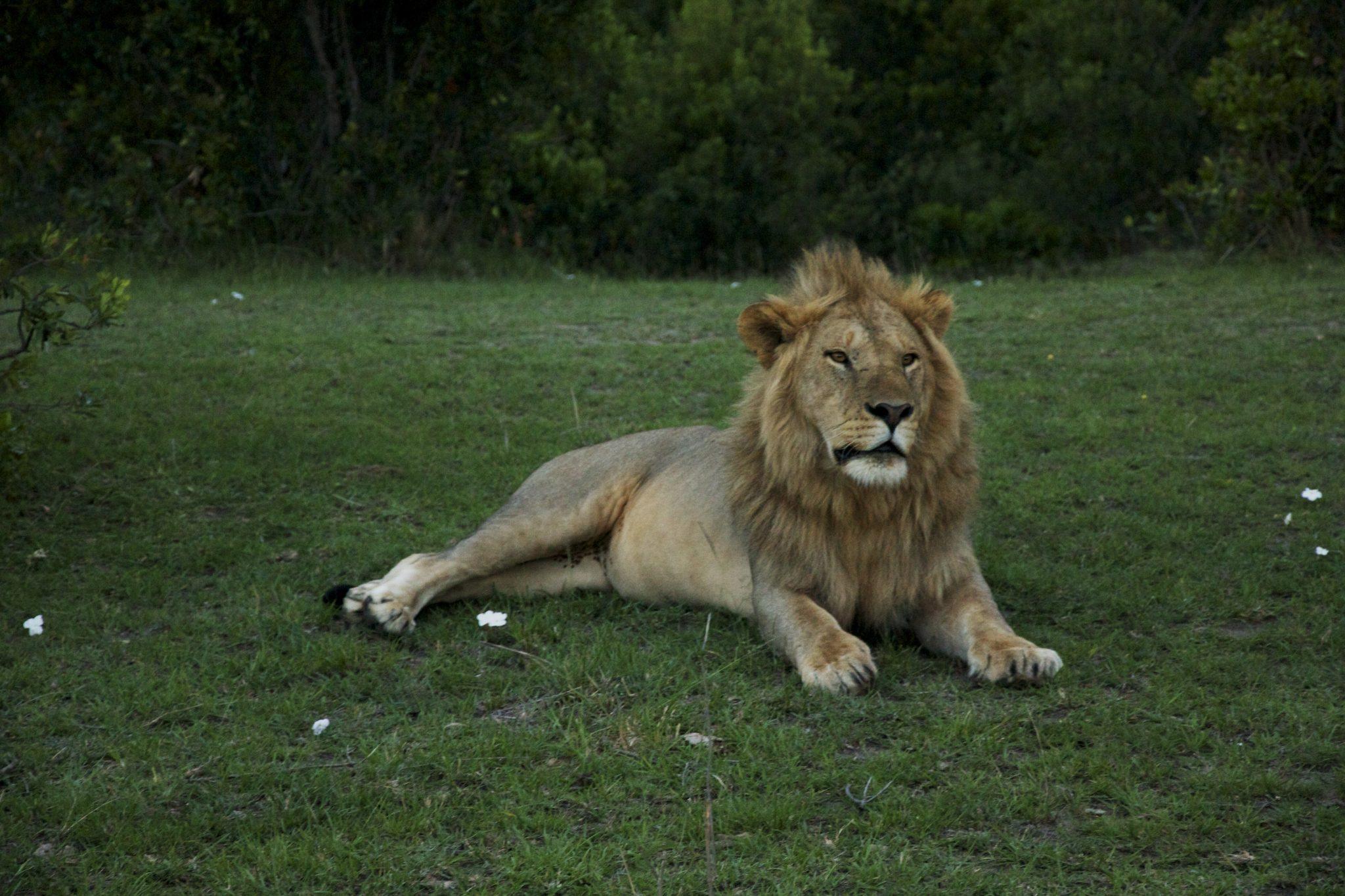 safari keniassa, kenyan safari, maasai mara safari, safari in masai mara, lions safari, cheetah safari, lions kenya