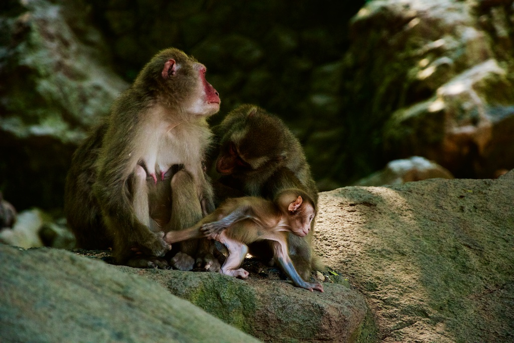 Takasakiyama Monkey Park and the macaques of Japan | Hetamentaries